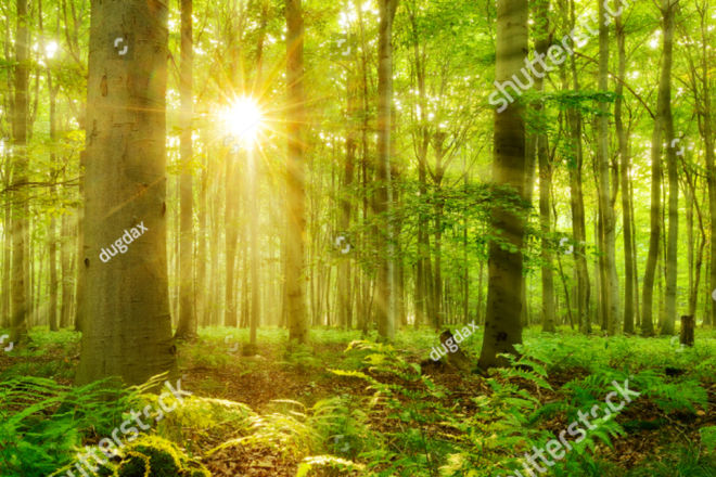 stock-photo-sunbeams-shining-through-natural-forest-of-beech-trees-ferns-covering-the-ground-1024447300 copy
